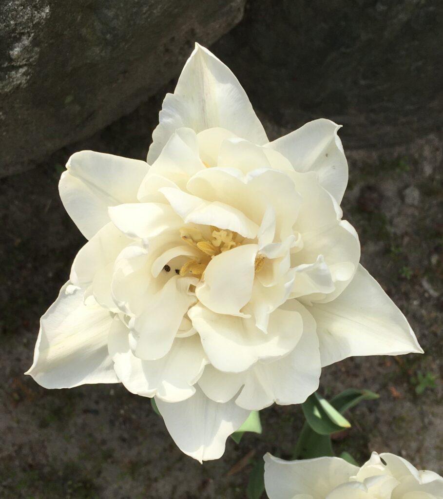 白八重咲チューリップ&ヒメマルカツオブシムシ