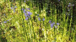 薄紫の小さな花をつける雑草の写真です。
